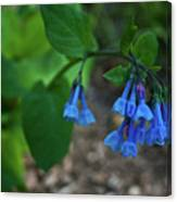 Virginia Bluebells In The Early Morning Canvas Print