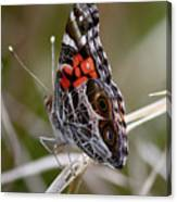 Virginia Lady Butterfly Side View Canvas Print