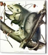 Virginia Opossum Canvas Print