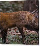Virginian Red Fox Canvas Print