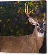 Virginian White Tail Buck Canvas Print