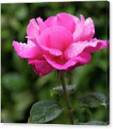 Vivid Pink Rose  Canvas Print
