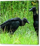 Vulture Pair Canvas Print