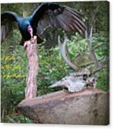 vulture with Skull Canvas Print