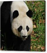 Waddling Giant Panda Bear In A Grass Field Canvas Print