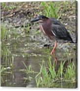 Wading Green Heron Canvas Print