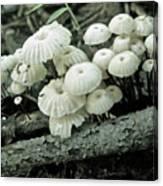 Wagon Wheel Mushroom Colony Canvas Print