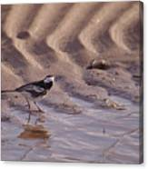 Wagtail On West Sands Canvas Print