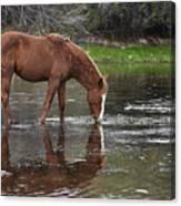 Walk Horse In Salt River Canvas Print