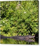 Wall Of Green And Gator Canvas Print