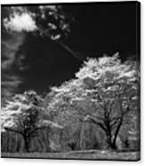 Walnut Creek Dogwoods Canvas Print