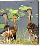 Wandering Whistling Ducks Canvas Print