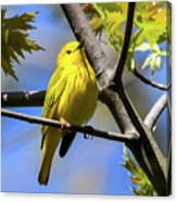 Warbler In Yellow Canvas Print