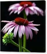 Warm Lavender Coneflower Canvas Print