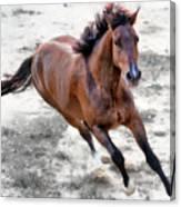 Warmblood Horse Galloping Canvas Print