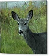 Wary Doe Canvas Print