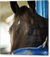 Wary Racehorse Canvas Print