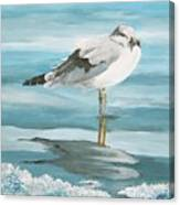 Wary Seagull 2 Canvas Print