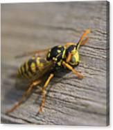 Wasp Close-up Canvas Print