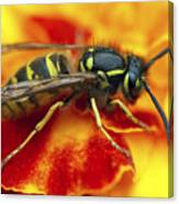 Wasp In The Bloom Canvas Print
