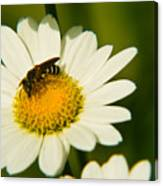 Wasp On Daisy Canvas Print