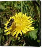 Wasp Visiting Dandelion Canvas Print