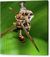 Wasp With Egg Canvas Print