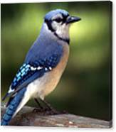 Watchful Blue Jay Canvas Print