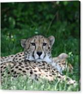 Watchful Resting Canvas Print