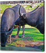 Watching 2 Water Buffalos 1 Water Buffalo Watching Me Canvas Print