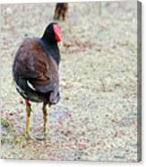 Watching Coot Canvas Print