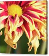 Water Drop On A Chrysanthemum Canvas Print