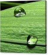 Water Droplet On A Leaf Canvas Print