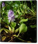 Water Hyacinth Canvas Print