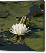 Water Lilies And Pads Canvas Print
