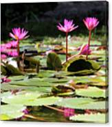 Water Lilies Tam Coc  Canvas Print