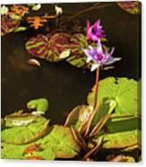 Water Lillies At Central Park Canvas Print