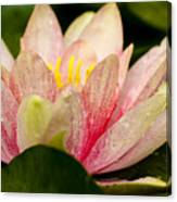 Water Lilly At Eye Level Canvas Print