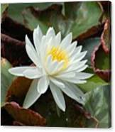 Water Lilly Closeup Canvas Print