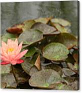 Water Lilly In Summer Canvas Print