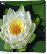 Water Lily 3437 Canvas Print