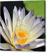 water lily 48 Green Smoke Canvas Print