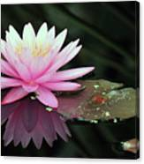 water lily 92 Sunny Pink Water Lily with Lily Pad Canvas Print