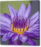Water Lily Director George T Moore Canvas Print