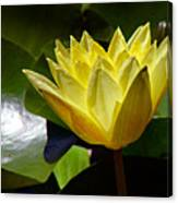 Water Lily Fc  Canvas Print