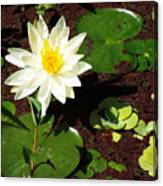 Water Lily From Private Garden Canvas Print