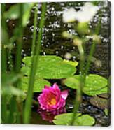 Water Lily In A Pond Canvas Print