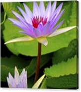Water Lily In A Tropical Garden_4657 Canvas Print