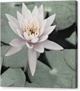 Water Lily In Soft Pink Canvas Print