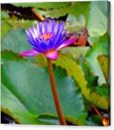 Water Lily In Tahiti Canvas Print